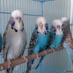Bonitos ejemplares de periquitos ingleses