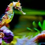 Caballito de mar multicolor