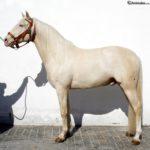 Caballo Albino