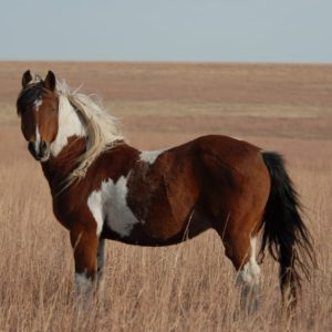 Caballos Mustang
