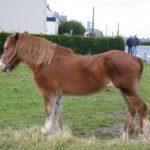 Caballo breton joven potro