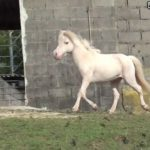 Caballo enano de color blanco americano
