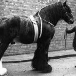Caballo shire foto en blanco y negro antigua