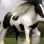 Caballo shire gigante blanco manchas marrones