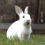 Conejo Rex comiendo hierba