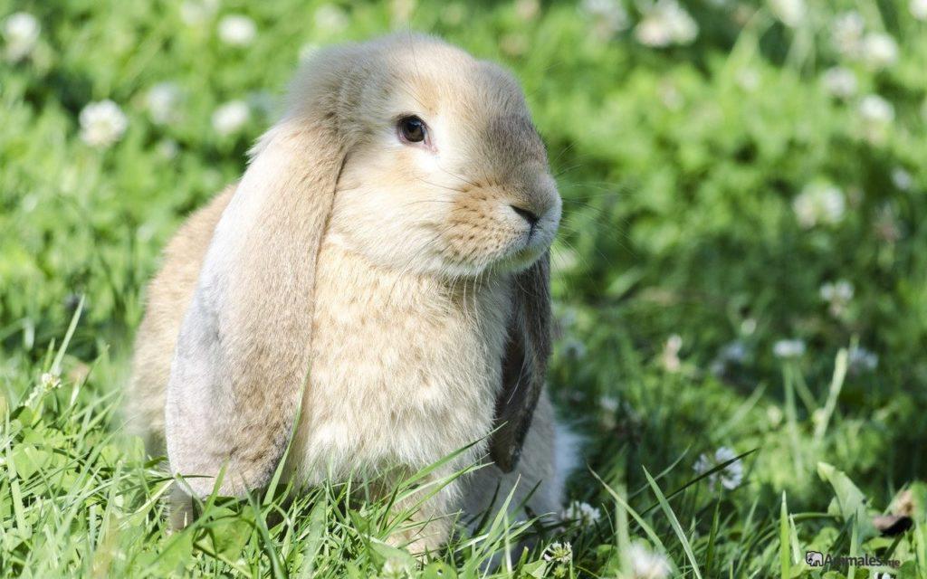 Conejo belier de color veis