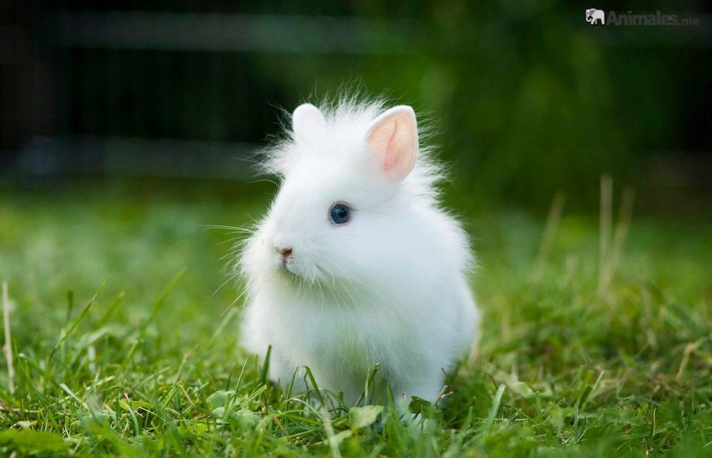Conejo cabeza de león bebe blanco