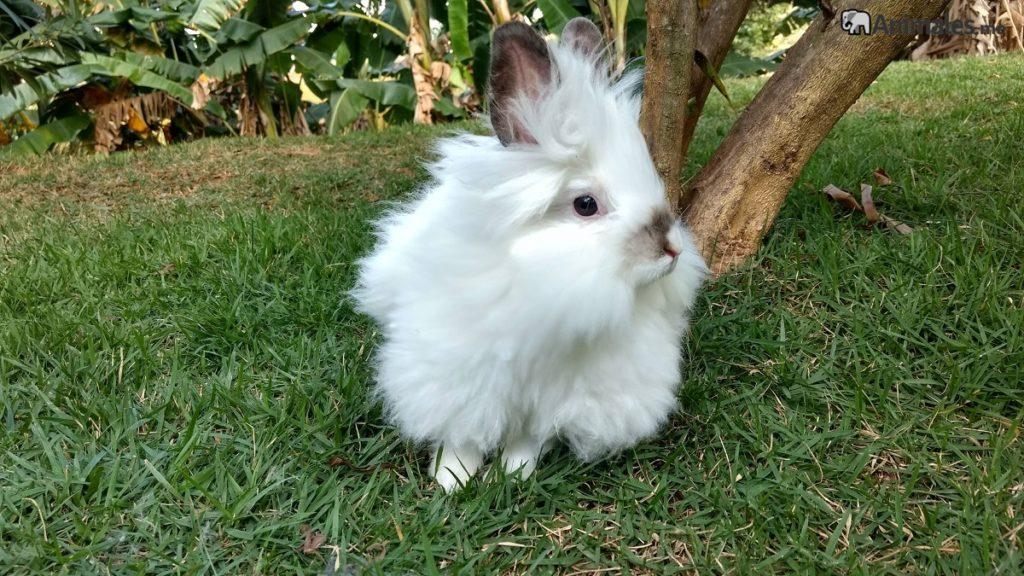 Conejo cabeza de león blanco adulto
