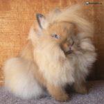 Conejo cabeza de león marrón
