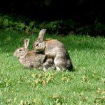 Conejo común (Oryctolagus cuniculus) apareandose en libertad