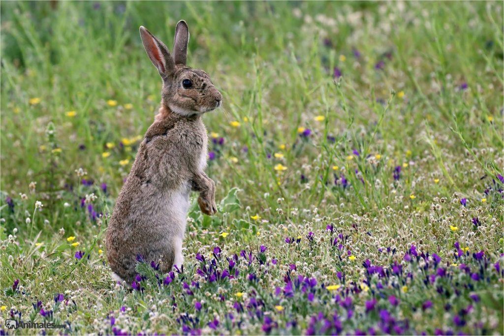 Conejo común(Oryctolagus cuniculus) de pie a 2 patas vigilando