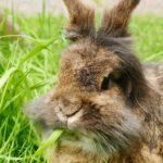 Conejo de angora comiendo hierba