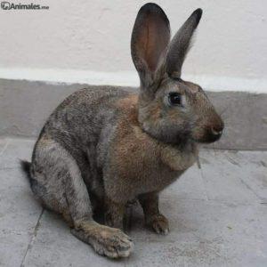Conejo de Flandes