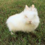 Conejo enano de angora blanco