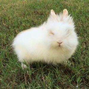 Conejo enano de angora