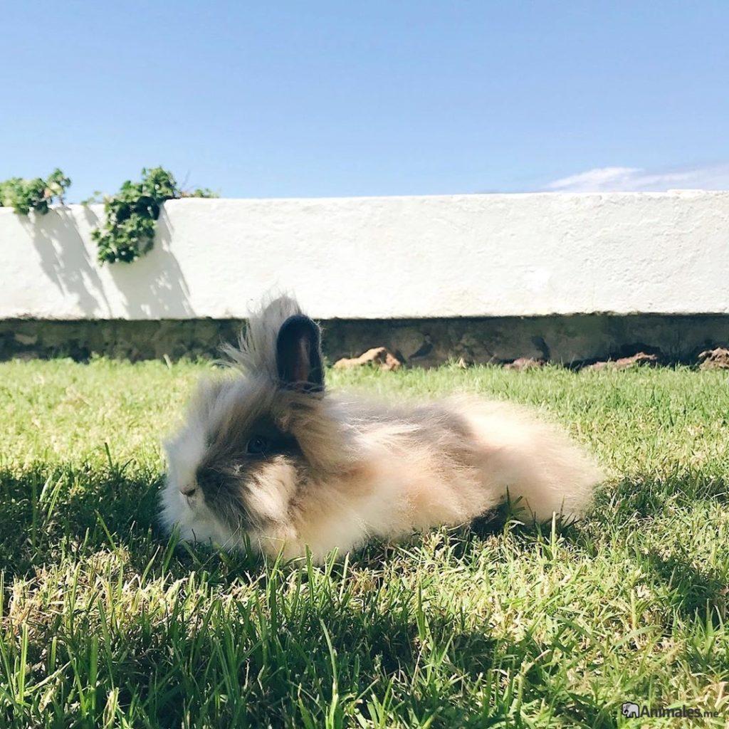 Conejo enano de angora descansando tumbado en el cesped