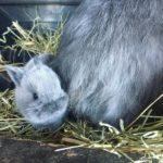 Conejo enano de angora gris bebe