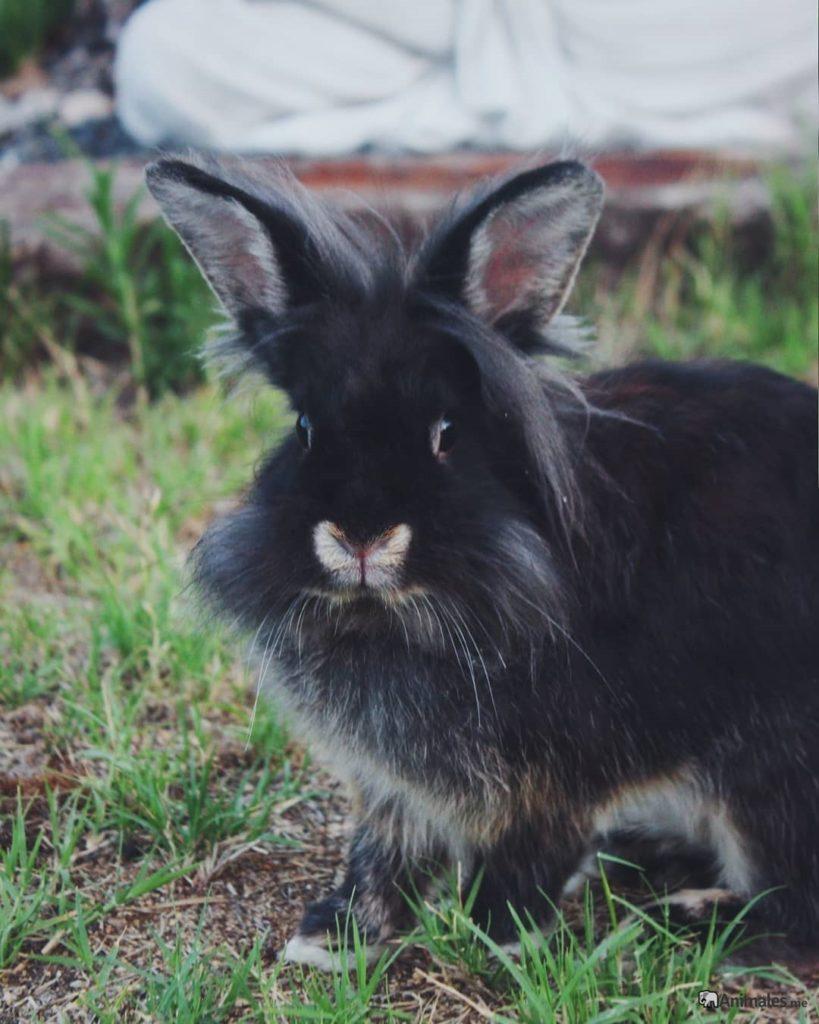 Conejo enano de angora negro