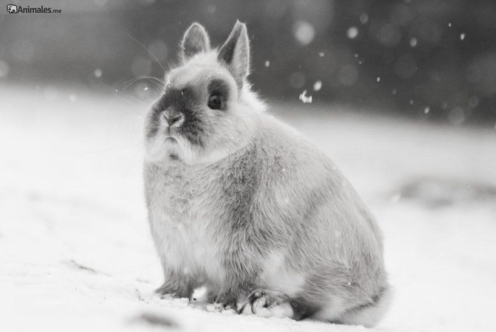Conejo enano holandés gris en la nieve