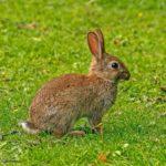 Conejo europeo (Oryctolagus cuniculus) en libertad
