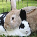 Conejo gigante con su cría