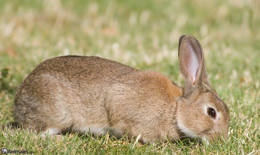 Conejo gigante de Flandes (Oryctolagus cuniculus)