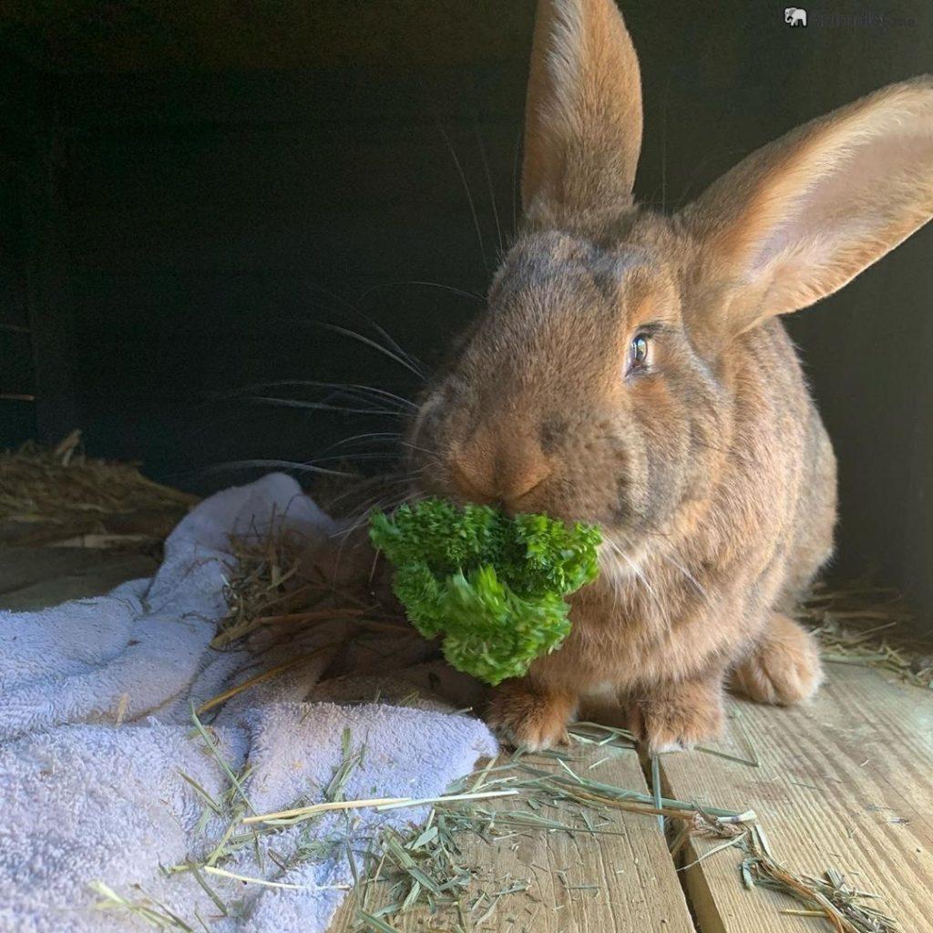 Conejo gigante español comiendo lechuga
