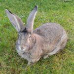 Conejo gigante español en el cesped