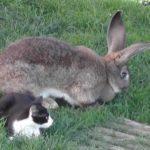 Conejo gigante español junto a un gato