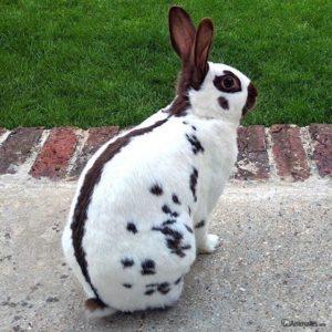 Conejo mariposa