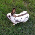 Conejo mariposa en el césped