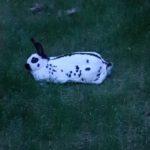 Conejo mariposa libre tumbado en el césped
