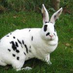 Conejo mini Rex blanco moteado