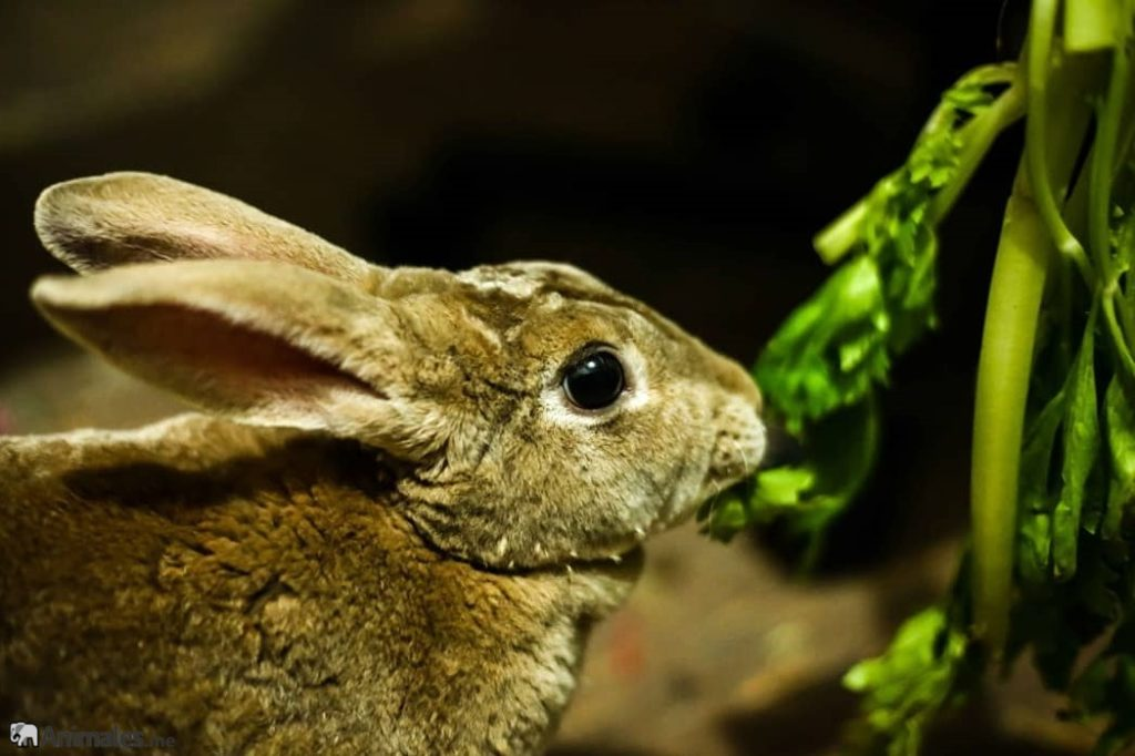 Conejo mini Rex comiendo hierba