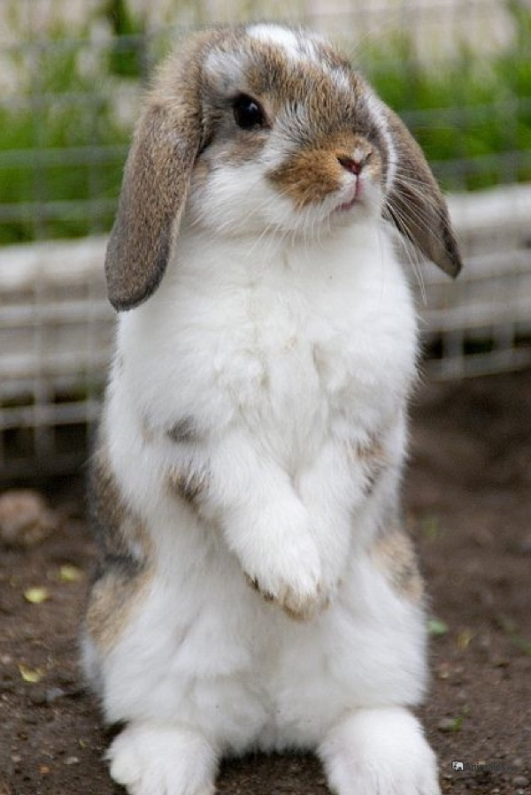 Conejo mini belier de pie a 2 patas