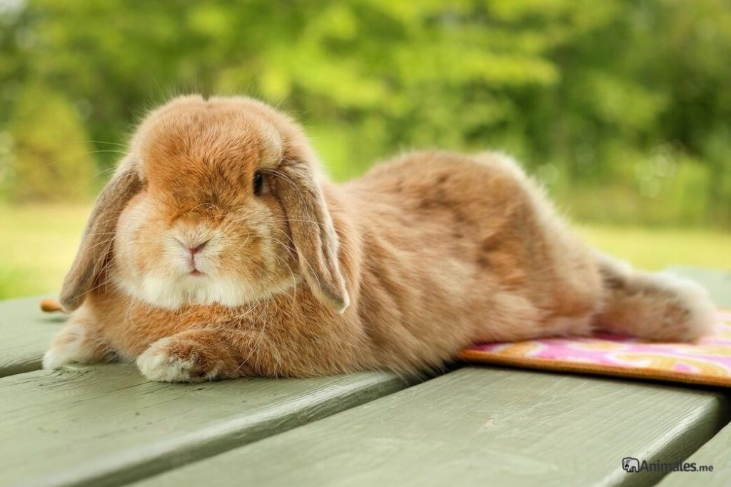 Conejo mini belier tumbado