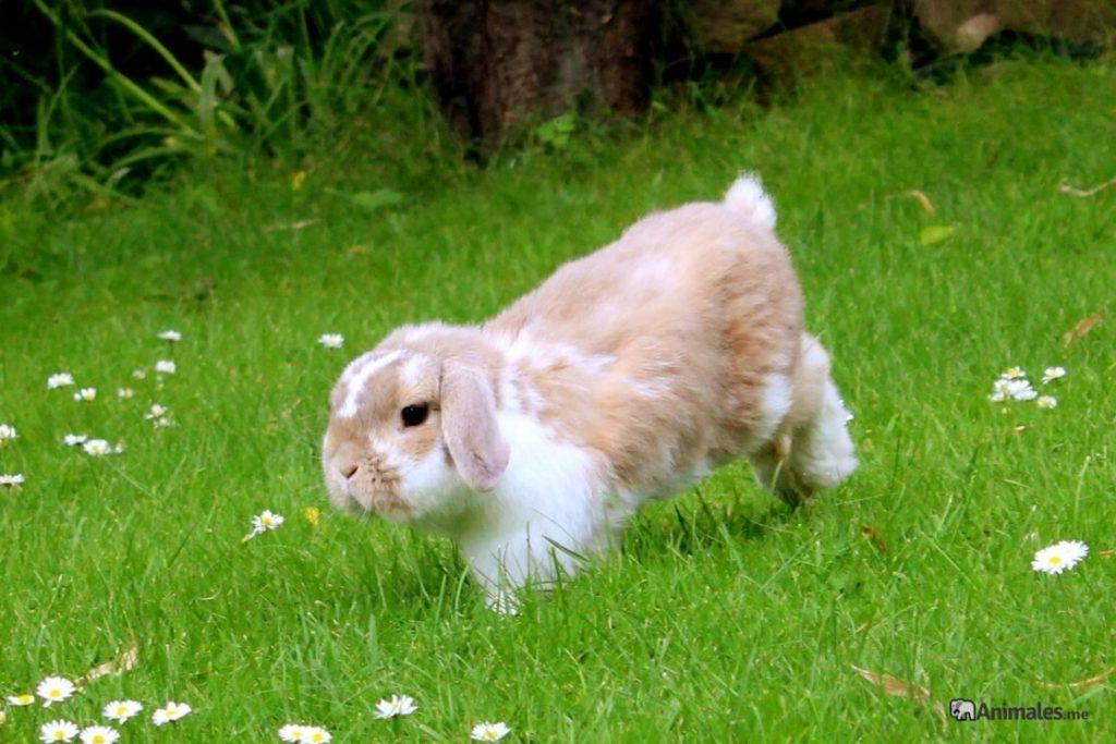 Conejo mini lop corriendo libre por el cesped
