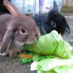 Conejos Toy comiendo lechuga