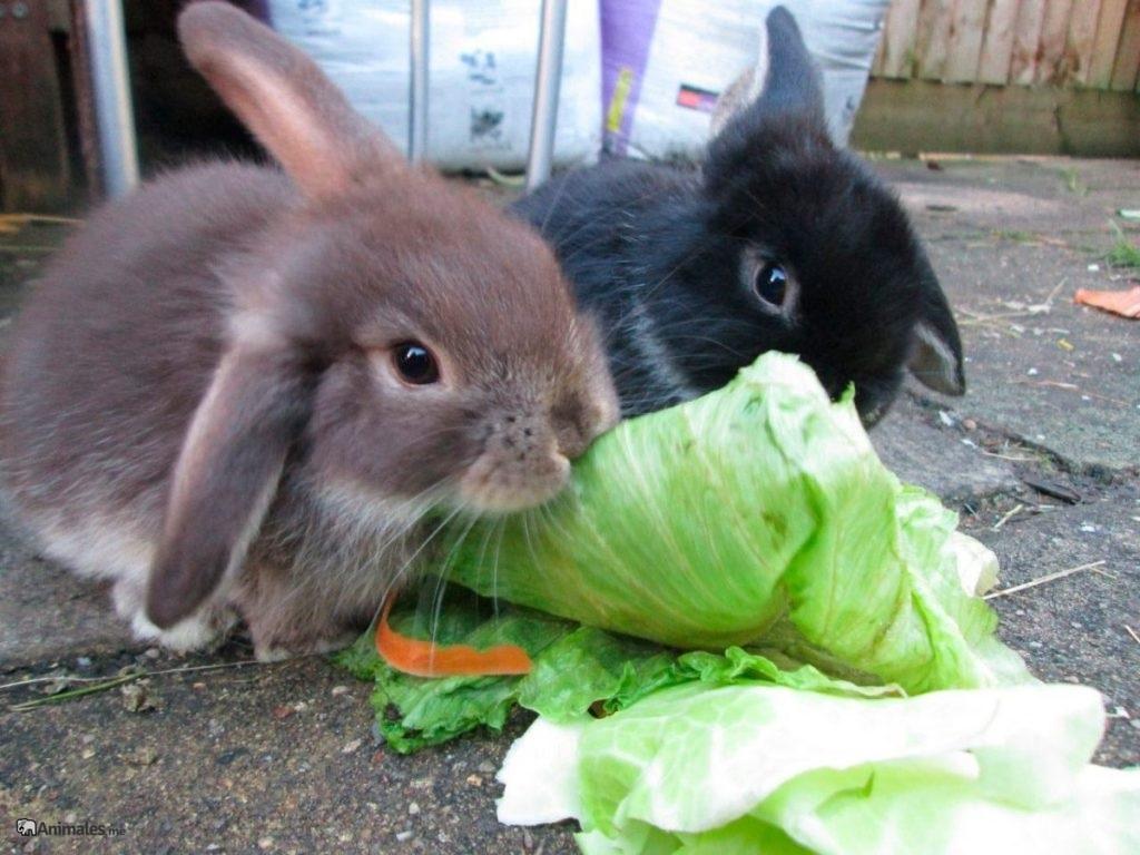 Conejos enanos comiendo lechuga