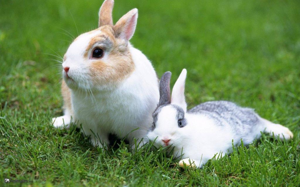 Dos conejos Toy tumbados en el césped