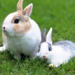 Conejos Toy descansando en el cesped