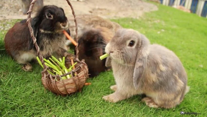 Conejos belier comiendo en el cesped