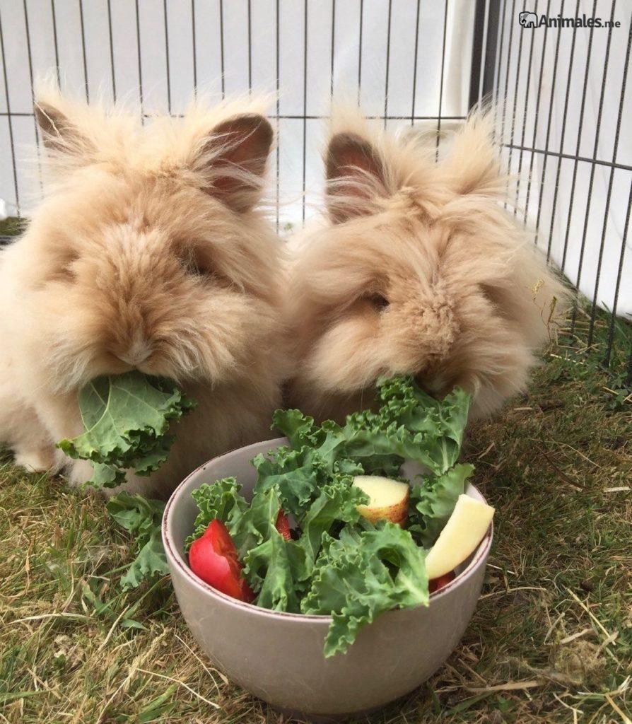 Conejos cabeza de león comiendo lechuga