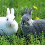 Conejos enanos adultos