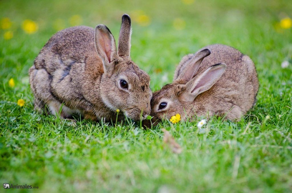 Conejos europeos (Oryctolagus cuniculus) comiendo