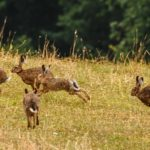 Conejos europeos (Oryctolagus cuniculus) corriendo por la pradera en libertad