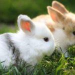 Conejos mini Toy bicolor