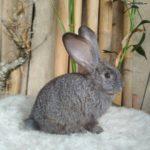 Cría conejo gigante español bebe