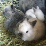 Crías conejo enano de angora con su madre