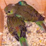 Crías de Periquito de rabadilla roja bebes
